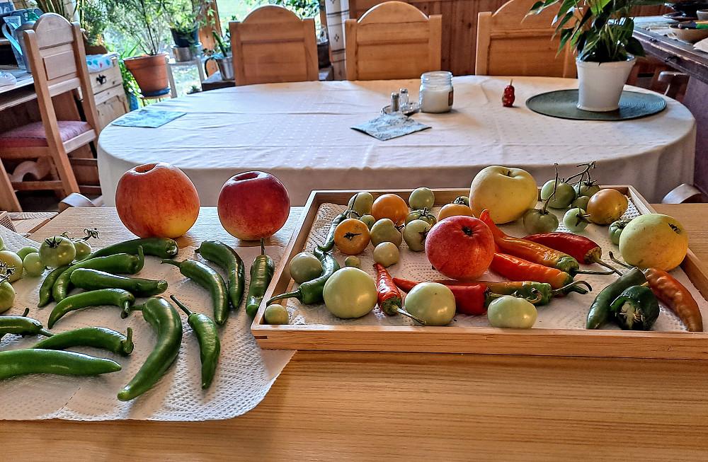 Ikke alt er modent, meldt mulig kuldegrader til natta, så må ta inn frukt og grønnsaker